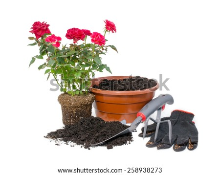 Transplanting potted roses. Roses and garden tools isolated over white background - stock photo