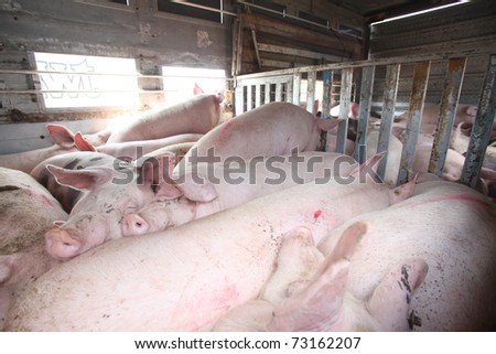 Transport of pigs for the slaughter house in Croatia. - stock photo
