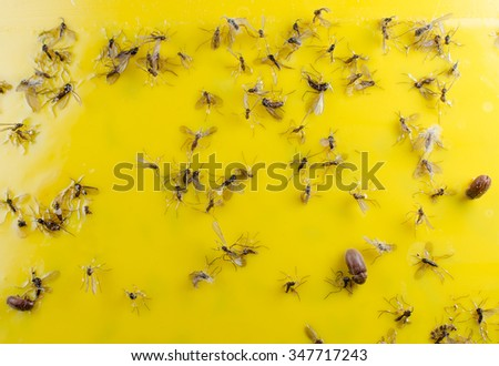 trapped fungus gnats and beetles (glue panel) - stock photo