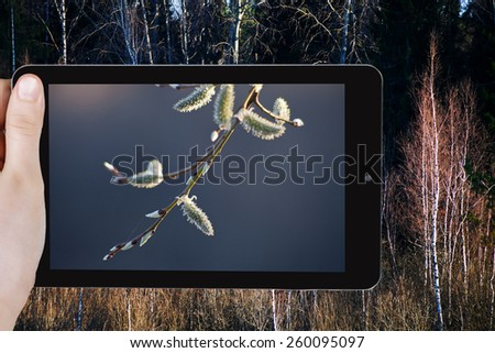 travel concept - tourist taking photo of willow catkins on twig close up in spring forest on mobile gadget - stock photo