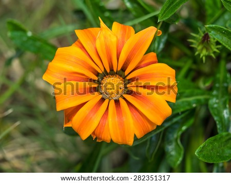 Treasure Flower (Gazania rigens) is a species of flowering plant in the family Asteraceae, native to southern Africa. - stock photo