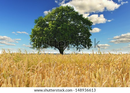 tree and wheat crops plant field in summer day - stock photo