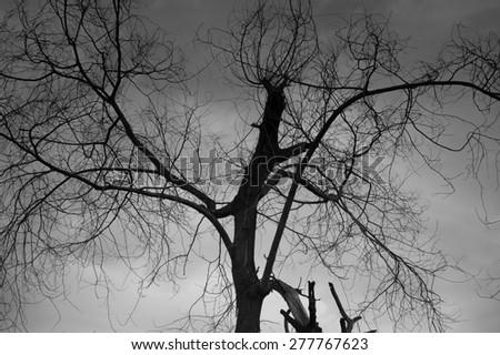 Tree black white - stock photo