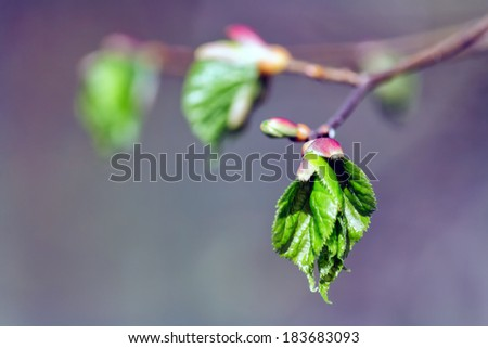 Tree branch with buds and green leaves in spring - stock photo