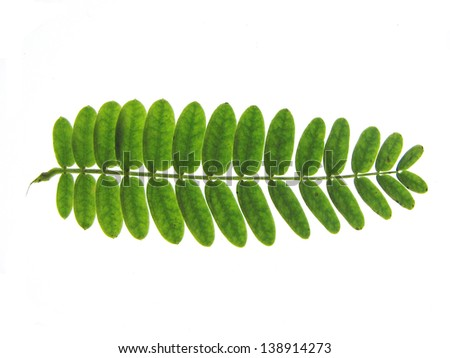 Tree branch with many leaves - stock photo