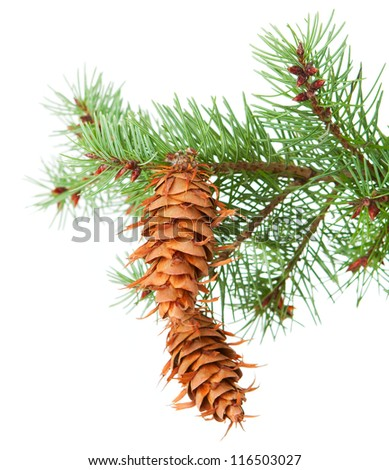 Tree branch with pinecones isolated on a white background - stock photo