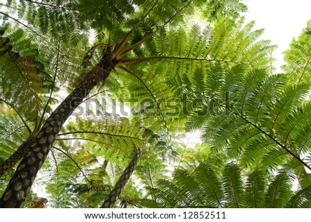 Tree ferns (cyathea lepifera) from below - stock photo