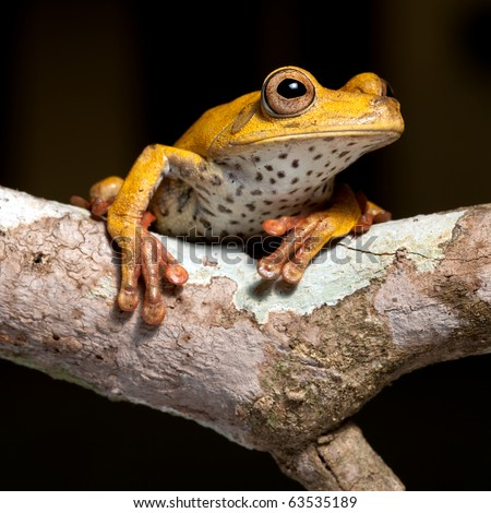 tree frog amphibian treefrog rainforest branch exotic  tropical rain forest species of Bolivian amazon jungle night animal isolated on black background beautiful wildlife - stock photo