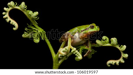 tree frog crawling in vegetation at night, European treefrog Hyla arborea, an endangered amphibian species climbing, protected green animal on list of nature and wildlife conservation - stock photo