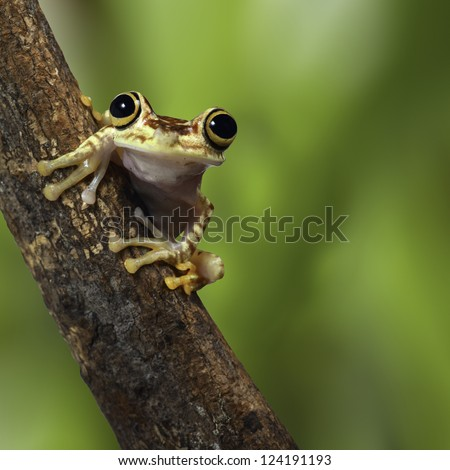 tree frog Ecuador tropical Amazon rainforest treefrog on branch in exotic rain forest cute small amphibian and nocturnal animal - stock photo