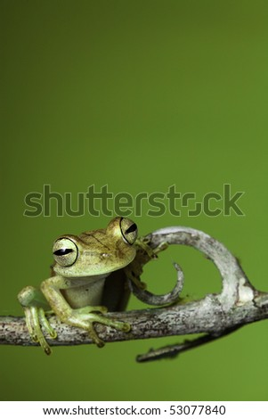 tree frog golden color rainforest amphibian on branch background copy space - stock photo