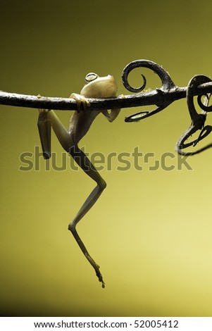 tree frog hanging on a small twig amphibians are nocturnal endangered animals need nature conservation background copy space tropical amazon Bolivia rain forest - stock photo