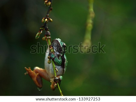 Tree frog in rain - stock photo
