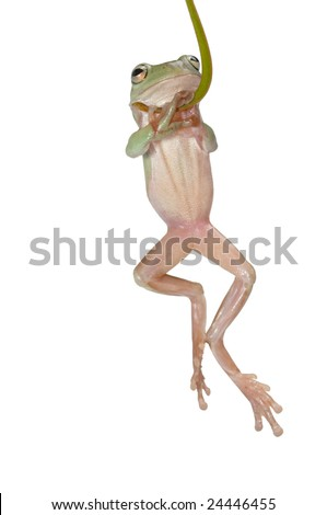 Tree Frog (Litoria caerulea) hang on Branch - stock photo