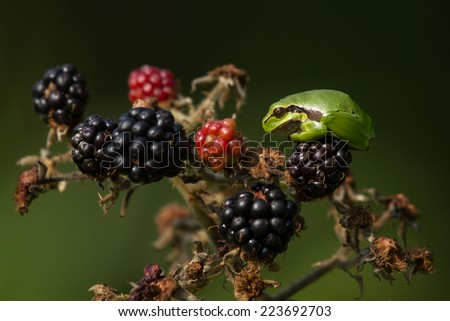 Tree frog on blackberry. Little tree-frog on a blackberry bush in nice light against a clear background. - stock photo