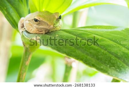 Tree frog on leaf - stock photo