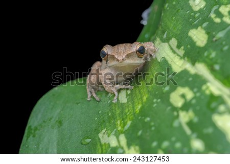 Tree Frog Polypedates leucomystax rests on a leaf at the night . Image has grain or noise and soft focus when view at full resolution. (Shallow DOF, slight motion blur ) - stock photo