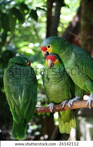Tree green parrots - stock photo