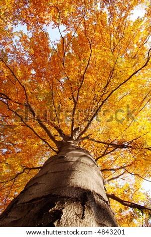 tree in fall - stock photo