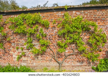 Tree in Kitchen Garden of Audley End House in Essex in England. It is a medieval county house. Now it is under protection of the English Heritage. - stock photo