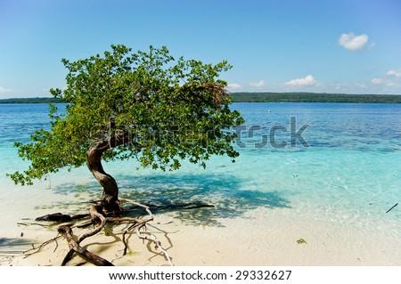 Tree in Paradise, Mangrove hanging over a beach. Caribbean, Cayo Sombrero, Venezuela. - stock photo