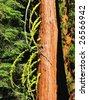 Tree in Sequoia National Park, California - stock photo