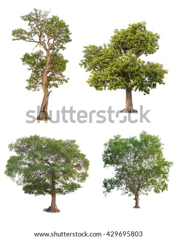 Tree in summer isolate on white background. - stock photo