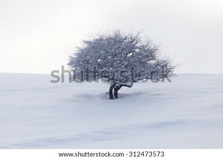tree in the snow at dawn sun - stock photo