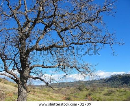 Tree in Upper Bidwell Park, Chico, CA - stock photo