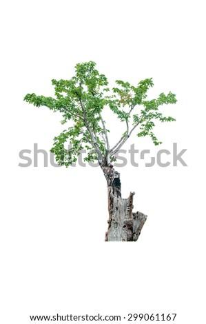 tree isolated on white - stock photo