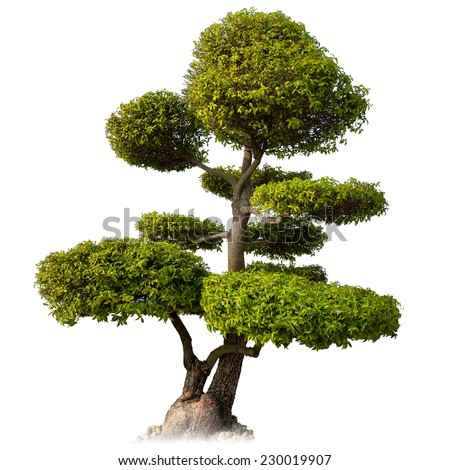 Tree isolated on white background. Asian bonsai plant for oriental garden  - stock photo