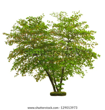 Tree isolated on white background with clipping path - stock photo