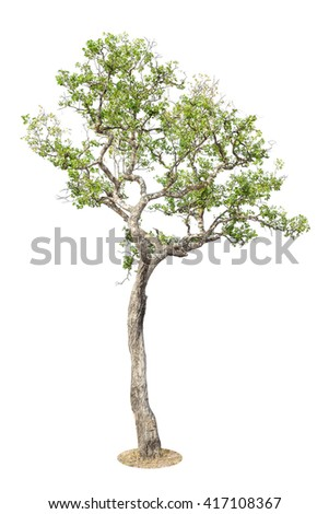 Tree, Isolated Tree on white background, Tree object element for design. - stock photo