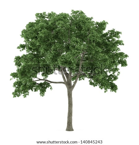 Tree isolated. Ulmus - stock photo
