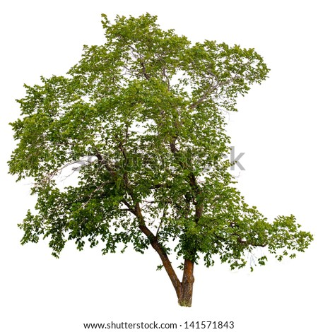 tree isolated white green background nature environment summer branch life natural - stock photo