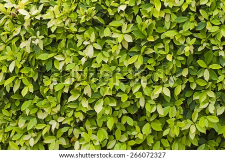Tree leaves and bright in sunlight,Background, Leaves - stock photo