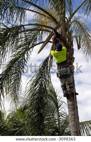 Tree Loper using chainsaw to cut the branches on a Palm Tree. - stock photo