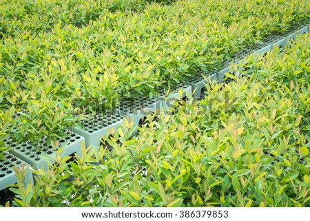 Tree nursery The tree planting eucalyptus used plastic tray is brought to a dominant second win. - stock photo