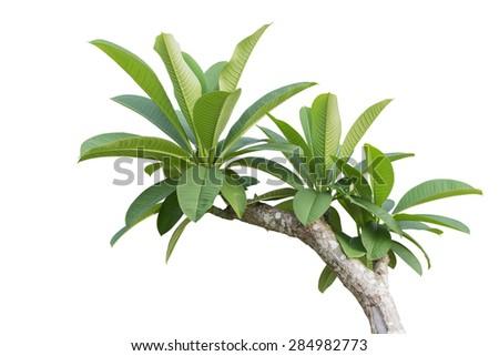 Tree of Frangipani flower isolated on white background - stock photo
