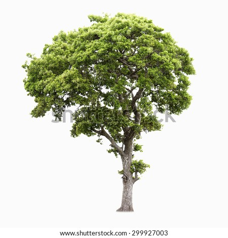 Tree of isolate - stock photo