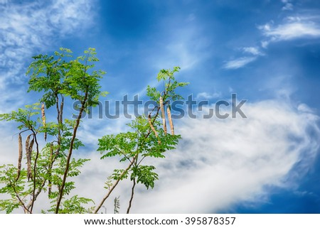 Tree of the Bitter cucumber-chinese (Moringa oleifera Lam.)  and blue sky,Thailand - stock photo