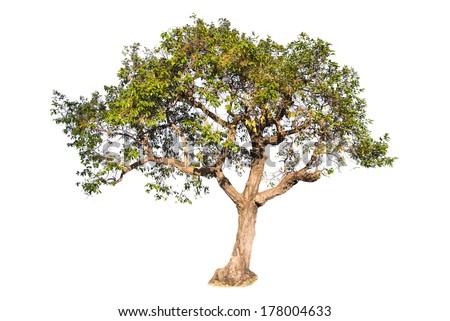 tree on isolate white background - stock photo