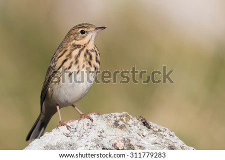 tree pipit - stock photo