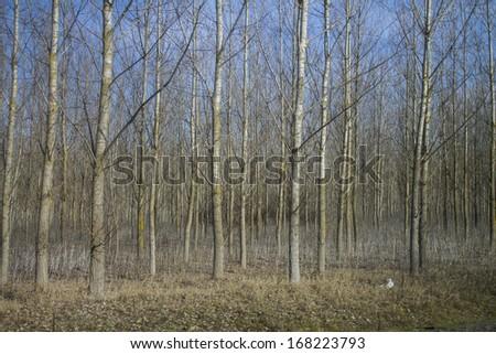 tree plantation - stock photo