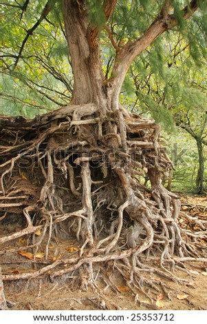 Tree Roots Exposed Due to Soil Erosion - stock photo