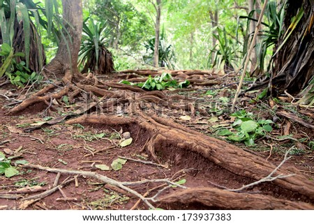 tree roots in a jungle - stock photo