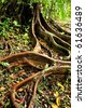 Tree roots in tropical forest - stock photo