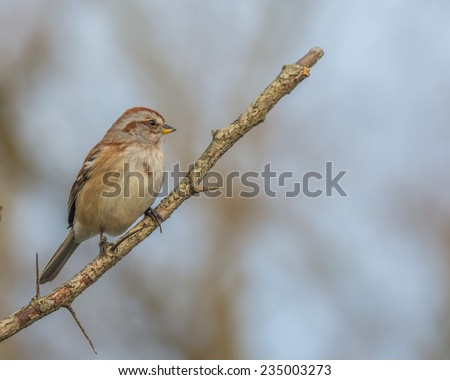 Tree Sparrow perched on a tree branch. - stock photo