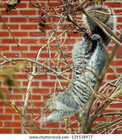 Tree squirrel in tree in mid-pirouette - stock photo
