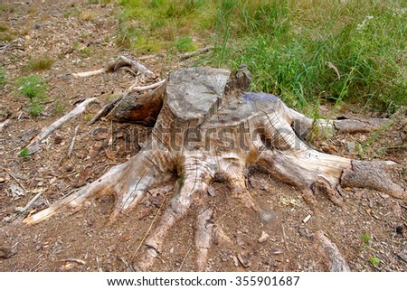 Tree stump in a forest clearing, tree felling - stock photo